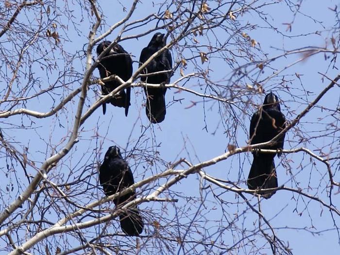 Грачи живут колониями и вьют гнезда рядом, поэтмоу обращают на себя больше внимания
